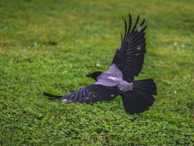 crow flying above green grass field